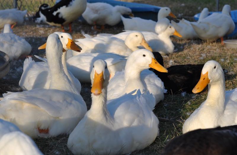 Fair ducks