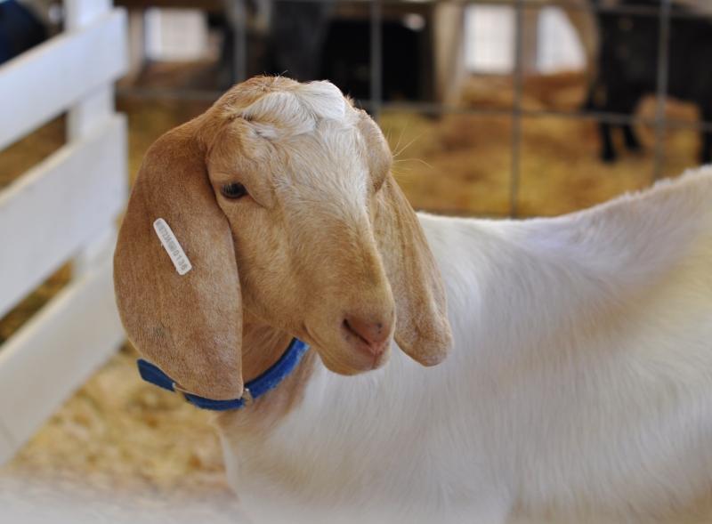 Animal 1 goat
