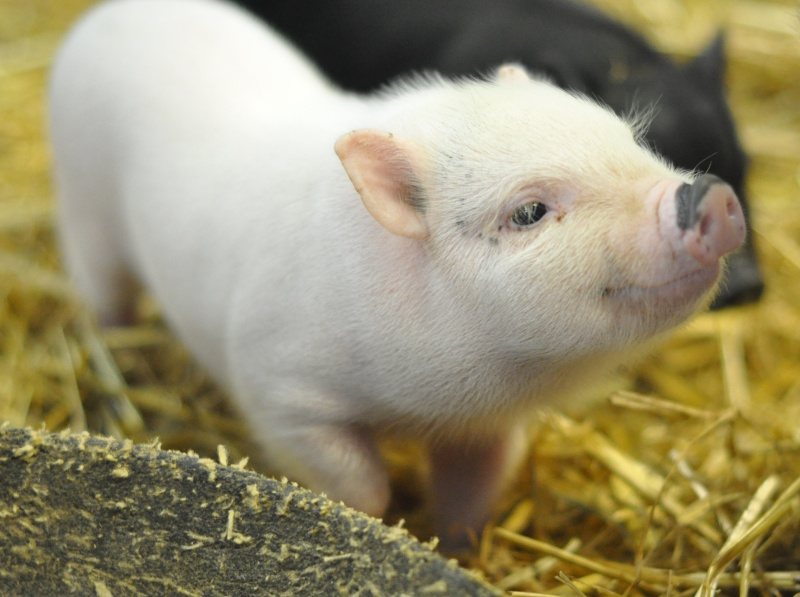 Animal 4 piglet