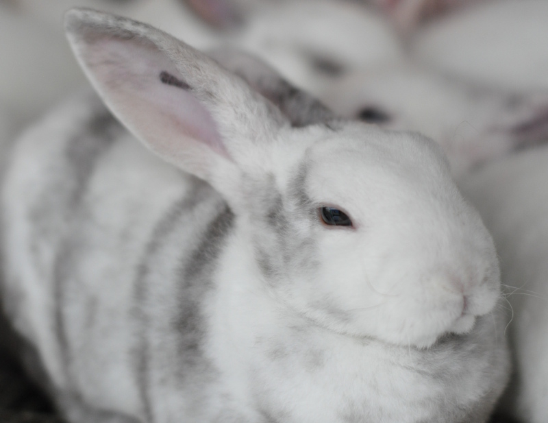 Animal 11 white rabbit