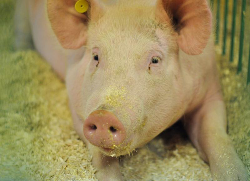 Animal 3 pig
