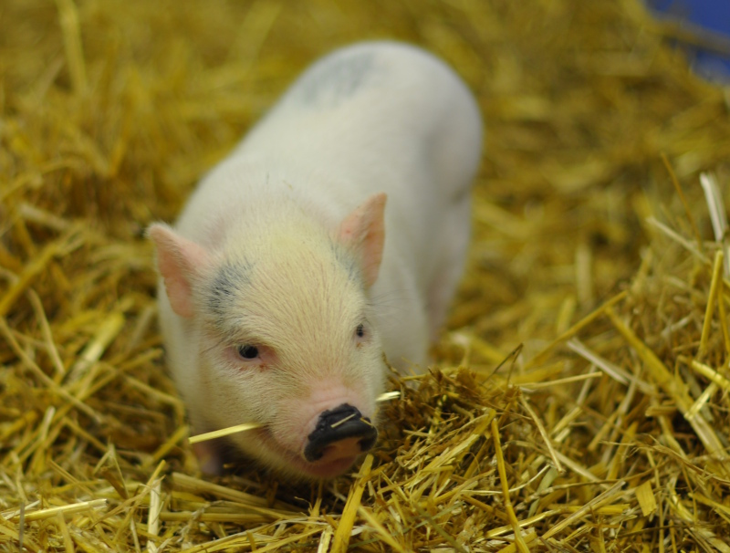 Animal 8 piglet