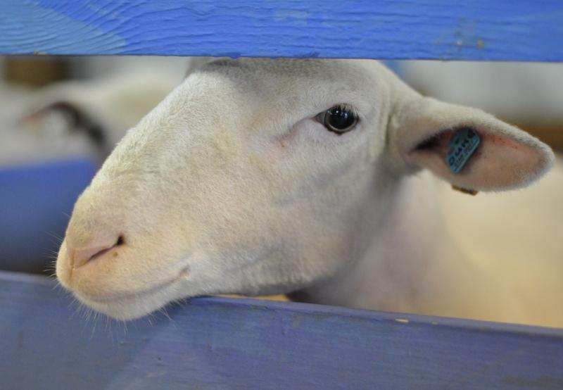 Animal 12 white lamb