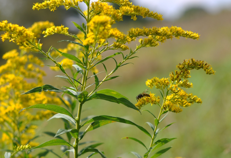 Goldenrod bee