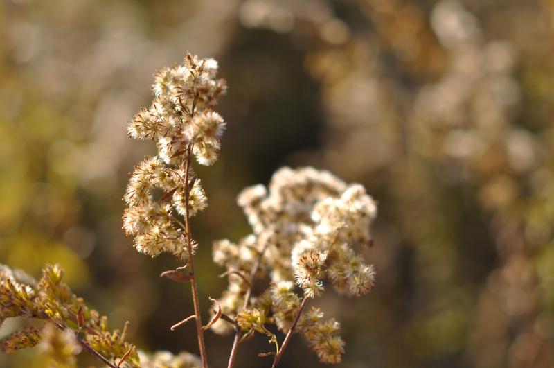 Fall fluff goldenrod 1