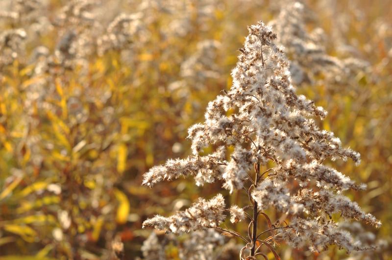 Fall fluff goldenrod 2