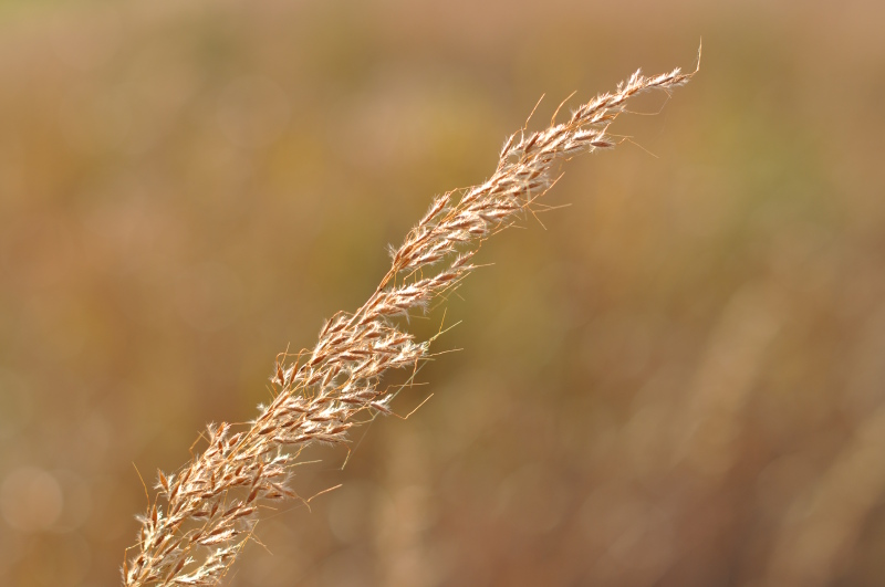 Fall fluff Indian grass