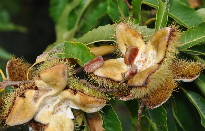 Chestnut open
