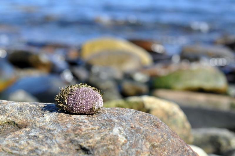 Found urchin