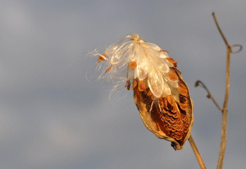 Milkweed 3