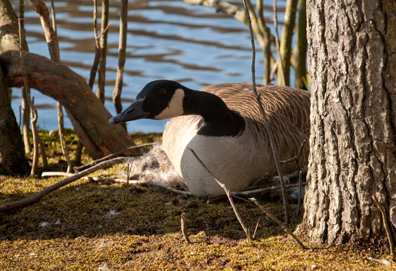 Canoe trip 13 nesting goose