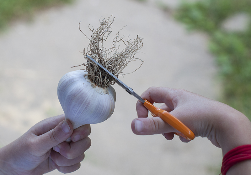 Trimming garlic