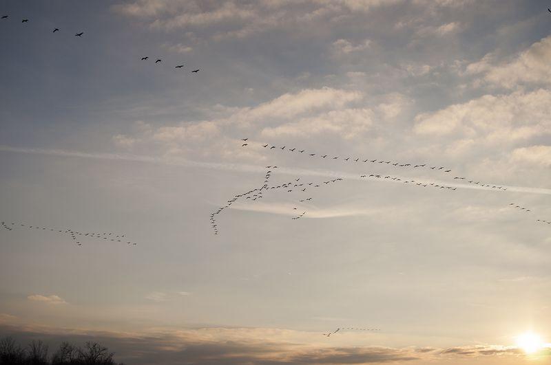 Sandhill Cranes 0