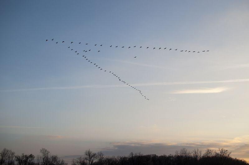 Sandhill Cranes 2