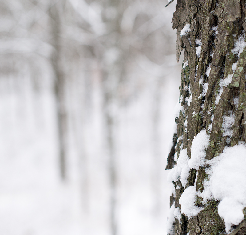 Winter Wonderland - bark