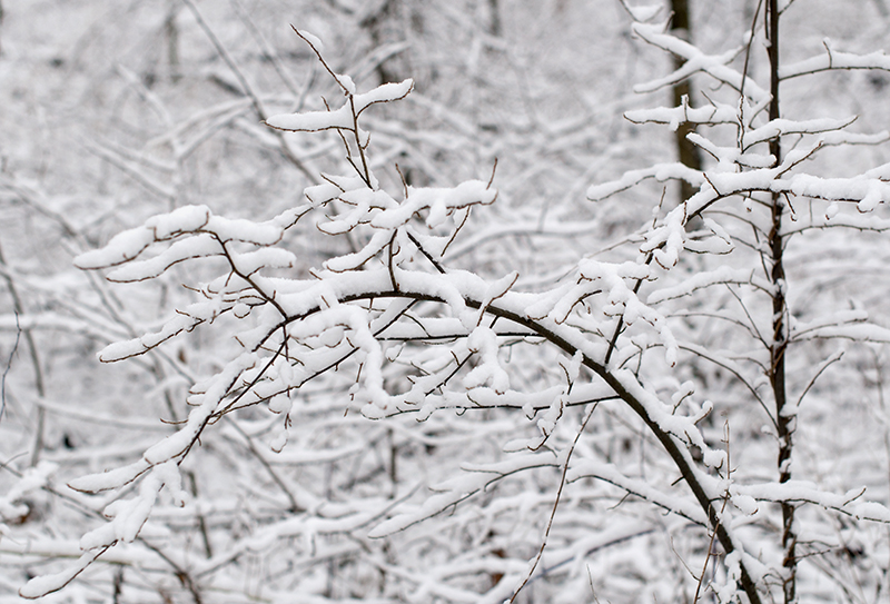 Winter Wonderland - snowy twigs
