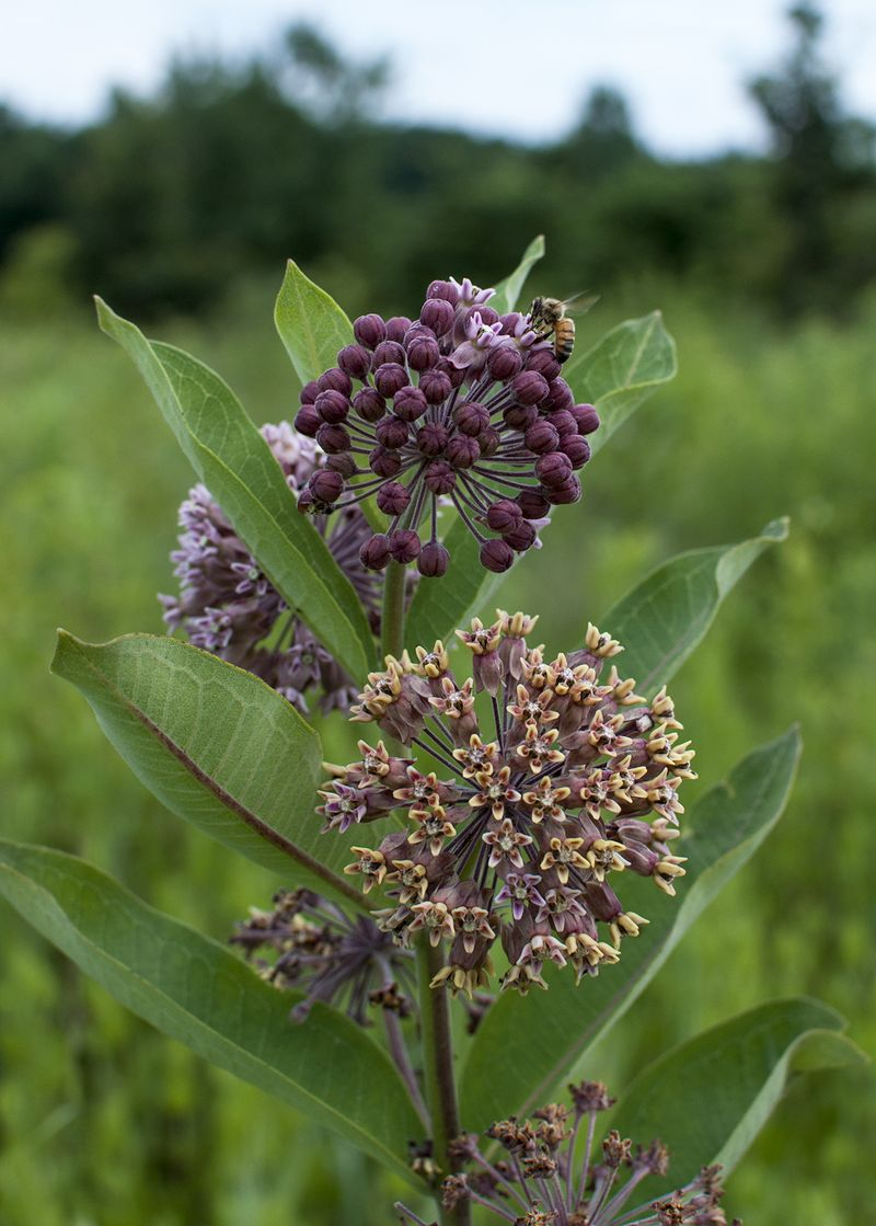 Milkweed with bees