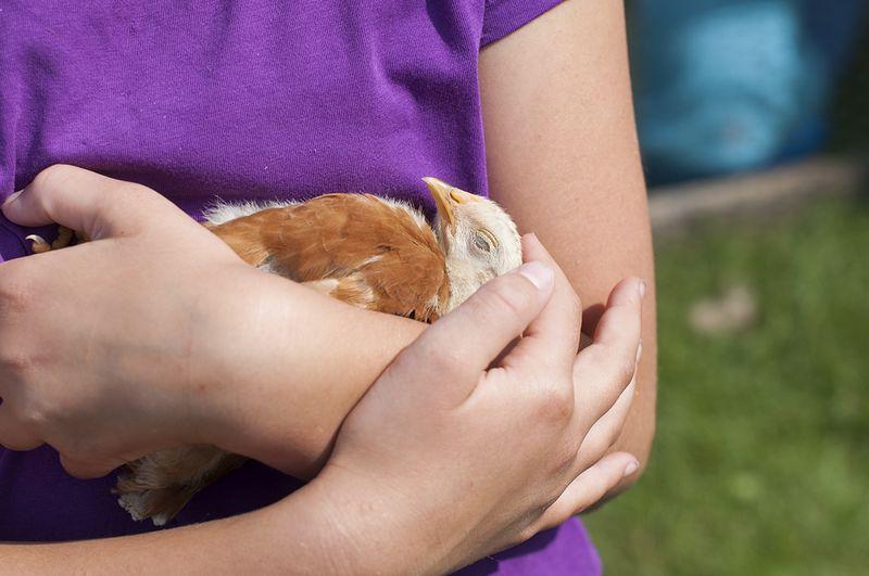 Chicken tamer