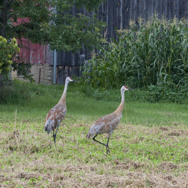 Sandhill cranes in the garden