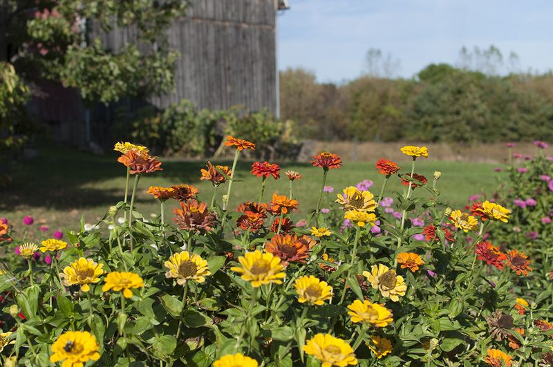 Zinnias and barn