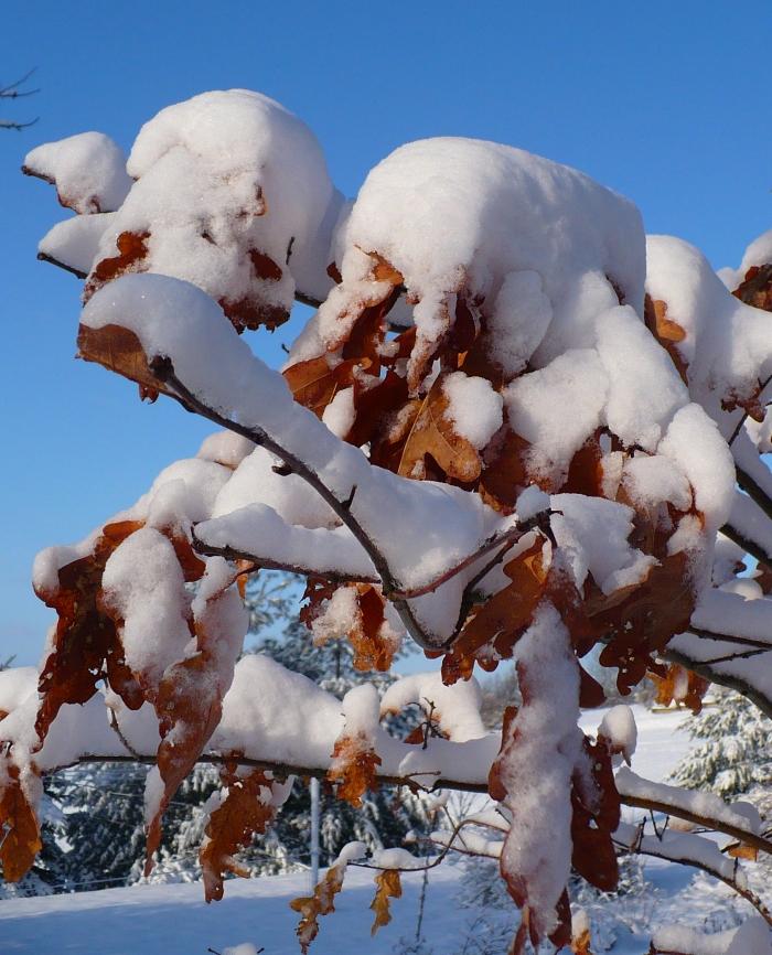 Snow_on_oak