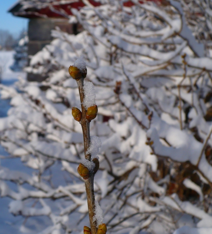 Snow_on_the_lilac