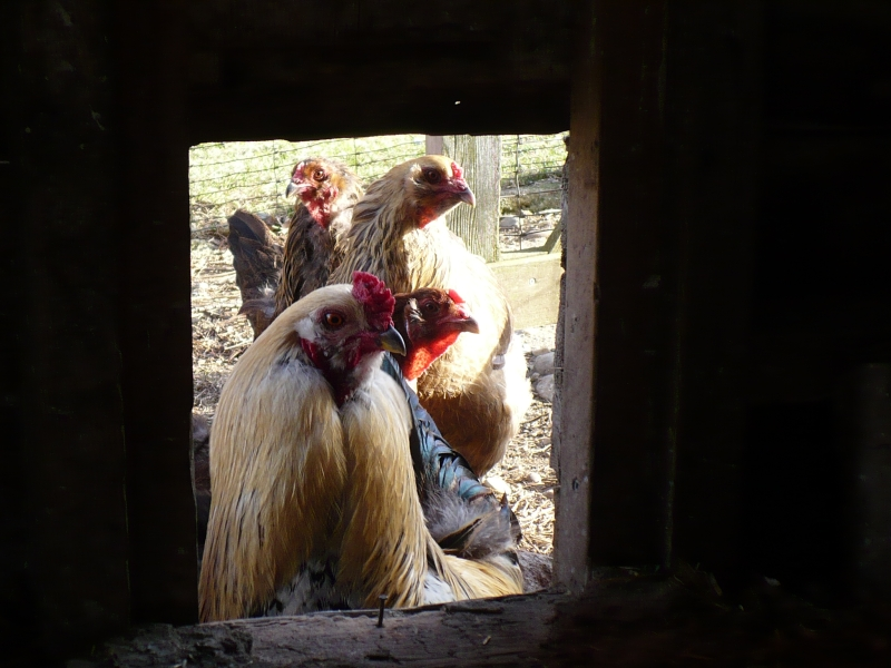 Chickens_at_the_door