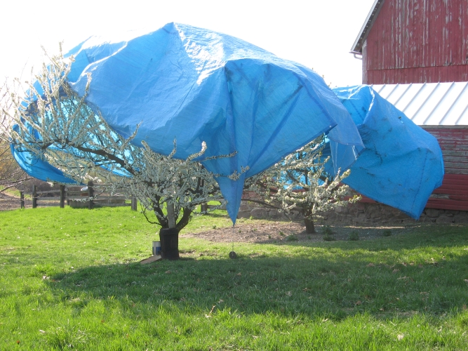 Tarps_on_the_plums