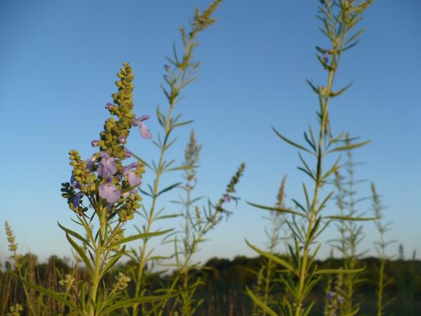 Prairie_flowers_1