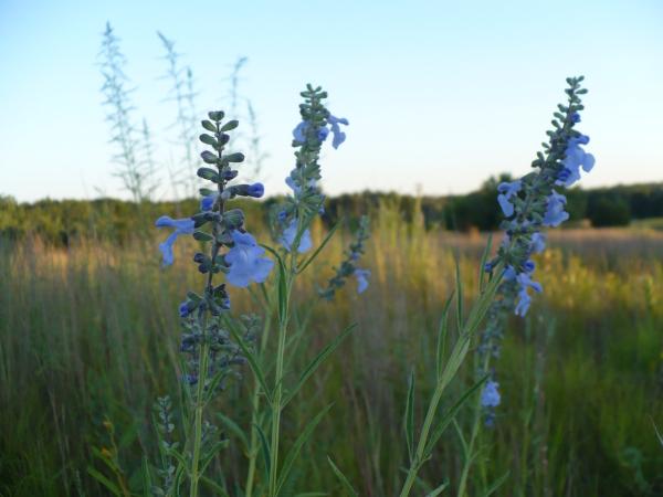 Prairie_flowers_2