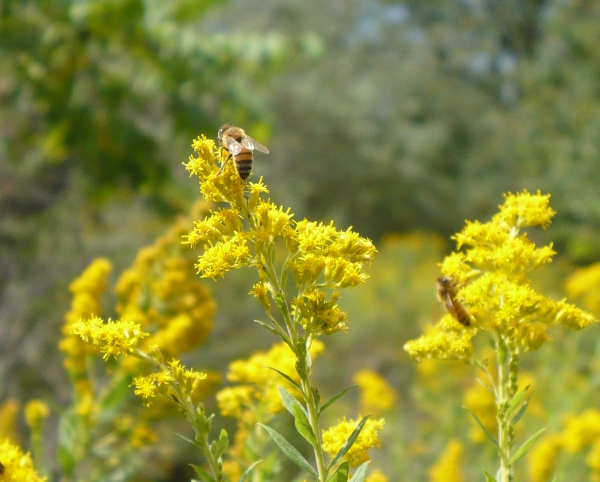Bees_on_goldenrod