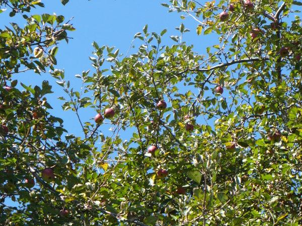 Apple_harvest_2